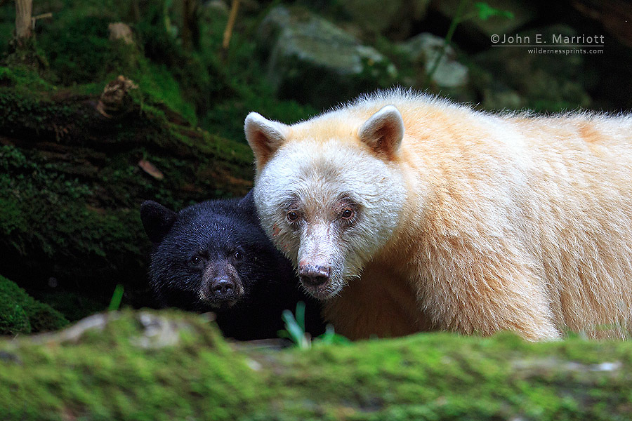 Spirit bear and cub in the Great Bear Rainforest, British Columbia, Canada