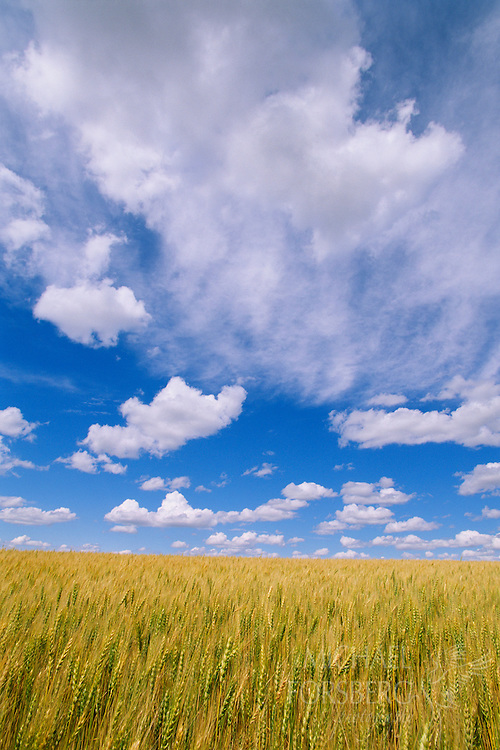 A wheat field under a big blue sky.  Garden County, Nebraska.