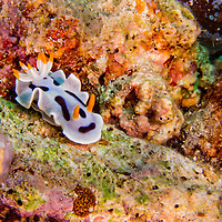 Alberto Carrera, Sea Slug, Dorid Nudibranch, Diana's Chromodoris, Chromodoris dianae, Bunaken National Marine Park, Bunaken, North Sulawesi, Indonesia, Asia