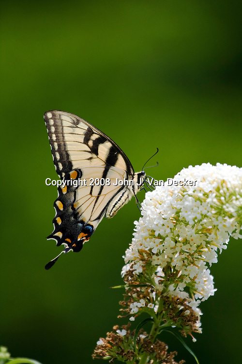 Eartern Tiger Swallowtail Butterfly on white lilac flower with wings folded, Papilio glaucus