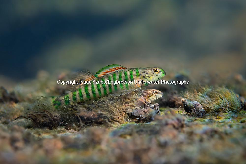 Banded Darter (breeding pair)<br /> <br /> Isaac Szabo/Engbretson Underwater Photo