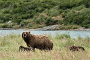 A brown bear sow and spring cubs walk in the grass at the McNeil River State Game Sanctuary on the Kenai Peninsula, Alaska. The remote site is accessed only with a special permit and is the world's largest seasonal population of brown bears in their natural environment.