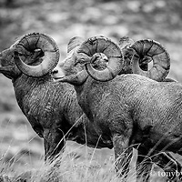 trophy big horn sheep