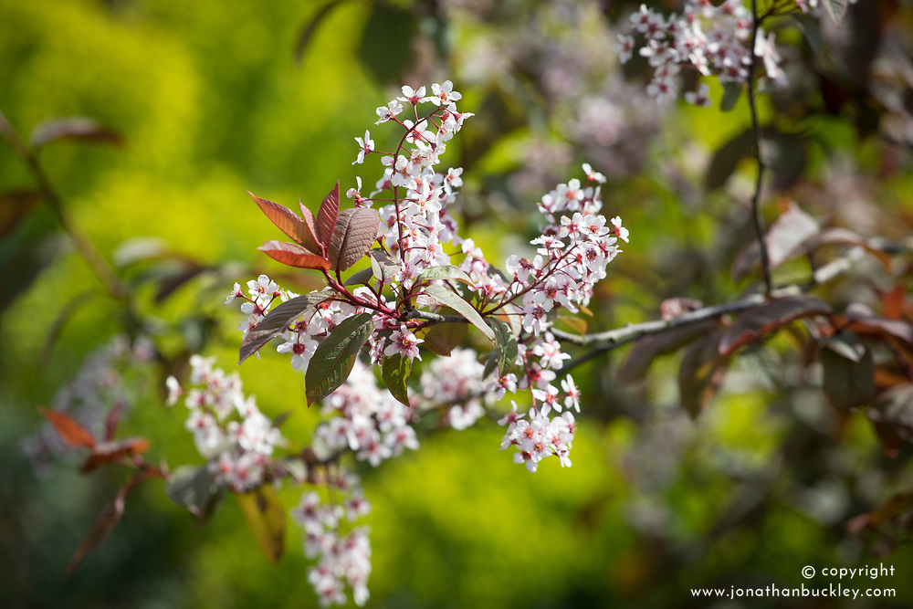 Prunus padus 'Colorata'. Bird cherry