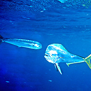 Dolphinfish also know as Mahi Mahi, male & female, inhabit open water in Tropical West Atlantic, also cirumtropical and subtropical; picutre from Nassau, Bahamas.