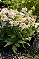 Helleborus 'Pink Ice' - a hybrid between H. niger and H. thibetanus bred by Ashwood Nurseries