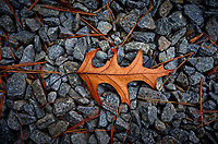 Oak leaf. Image taken with a Leica T camera and 23 mm f/2 lens (ISO 100, 23 mm, f/2.8, 1/80 sec)