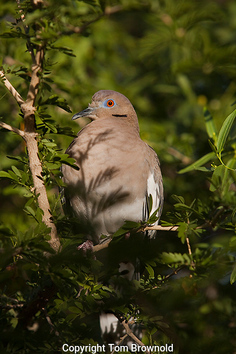 white winged dove in a mesquite tree