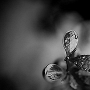 A black and white photograph showing natural rain droplets forming on a plant. <br />