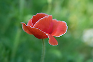 Photo red poppy, matted print, wall art, macro, close up. California flower, nature, garden, photography. Santa Monica, Westside, Venice, Los Angeles, Fine art photography limited edition.