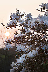 Magnolia stellata in Carol Klein's garden at Glebe Cottage at sunset. Star magnolia