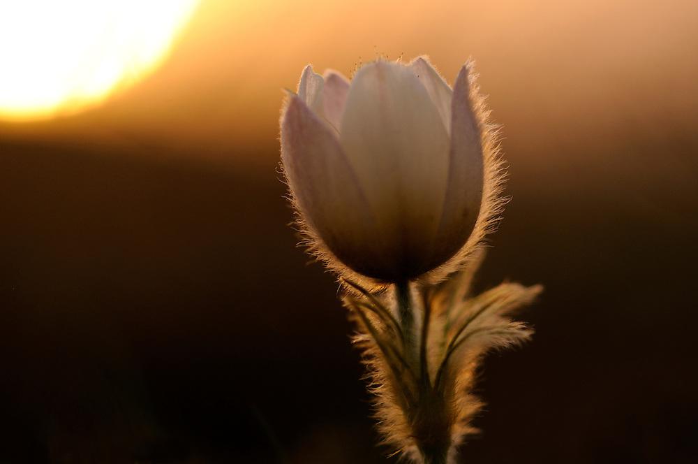 France, Languedoc Roussillon, Lozère (48), Cevennes, fleur de Pulsatille printanière, N.L.: Pulsatilla vernalis, (Renonculacées)