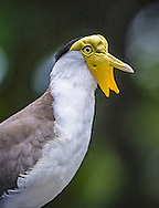 The masked lapwing (Vanellus miles), also known as the masked plover and often called the spur-winged plover or just plover in its native range, is a large, common and conspicuous bird native to Australia, particularly the northern and eastern parts of the continent.