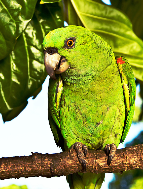 A very tame parrot keeping watch over the harbor of Little Corn Island.