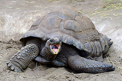 THEMENBILD - Aldabra-Riesenschildkroeten (Aldabrachelys gigantea), endemisch, Insel Curieuse, Seychellen, Afrika // Aldabrachelys giant tortoises (Aldabrachelys gigantea), endemic, island Curieuse, Seychelles, Africa. EXPA Pictures © 2017, PhotoCredit: EXPA/ Eibner-Pressefoto/ Schulz<br /> <br /> *****ATTENTION - OUT of GER*****