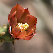 This is a flower from a pencil cholla.