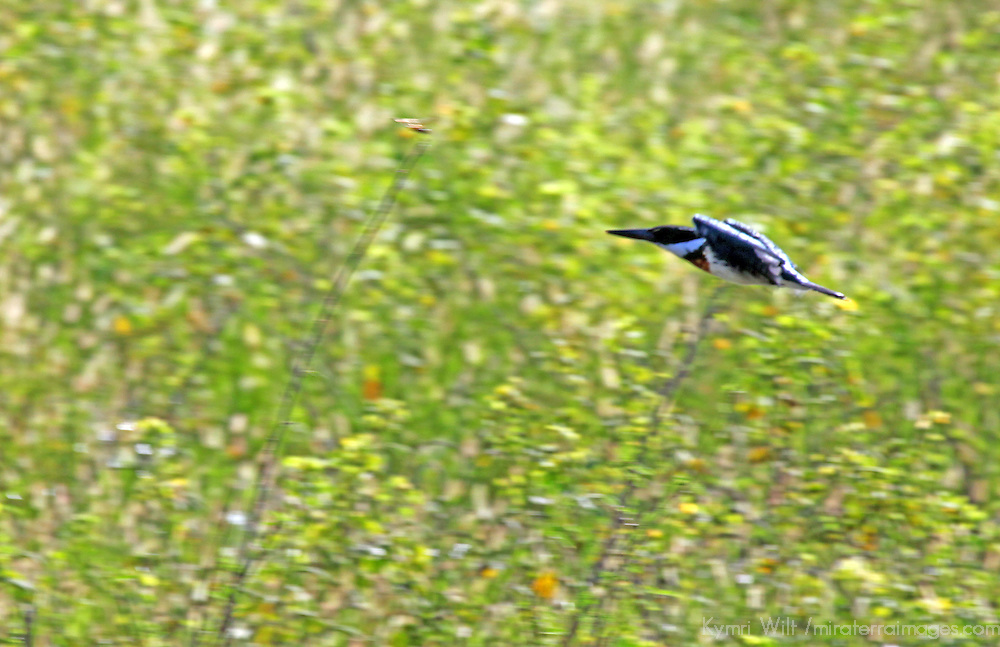 South America, Brazil, Pantanal. Green Kingfisher in flight in the grasslands of the Pantanal.