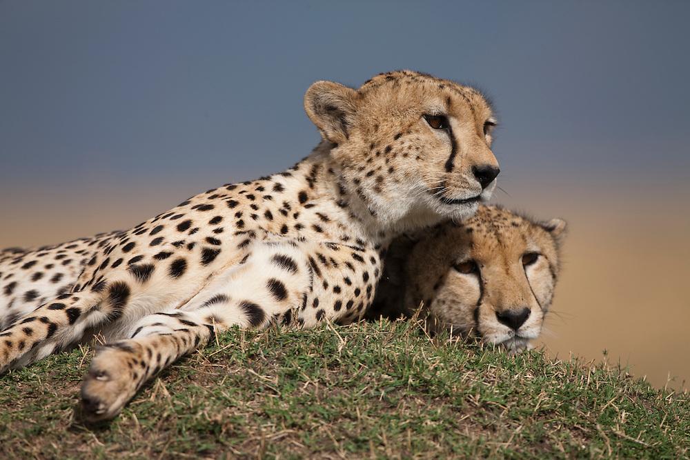 Africa, Kenya, Masai Mara Game Reserve,  Two Cheetah (Acinonyx jubatas) resting on termite mound on savanna