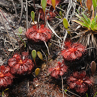 This rare sundew (Drosera hirticalyx) is endemic to several mountains in Venezuela. Canaima National Park, Venezuela.