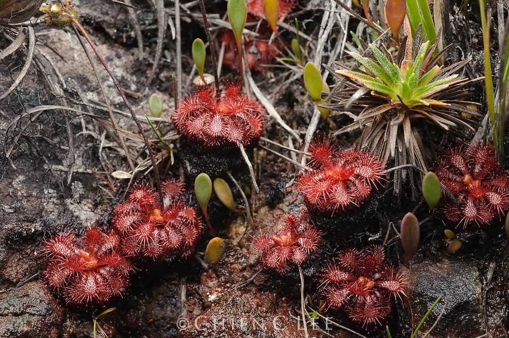 This rare sundew (Drosera hirticalyx) is endemic to several mountains in Venezuela. Canaima National Park, Venezuela.