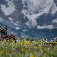 Mountain caribou in Tonquin Valley.