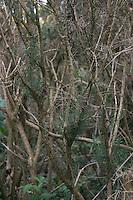 Close up of gorse branches, Dublin, Ireland