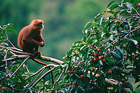 Red Leaf Monkey (Presbytis rubicunda).  Also called Maroon Leaf Monkey, Maroon Langur.  Feeding on fruit of Strangler Fig tree (Ficus dubia) in the rain forest canopy.  Gunung Palung National Park, West Kalimantan, Borneo, Indonesia.