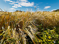 Field of wheat in sunny whether