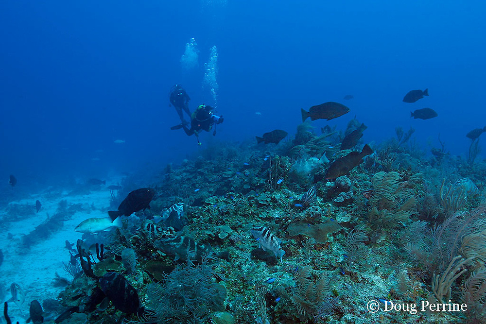 Belize Audubon Society biologist Kirah Forman films spawning aggregation of Nassau groupers, Epinephelus striatus ( Endangered Species ), Lighthouse Reef Atoll, Belize, Central America ( Caribbean Sea )