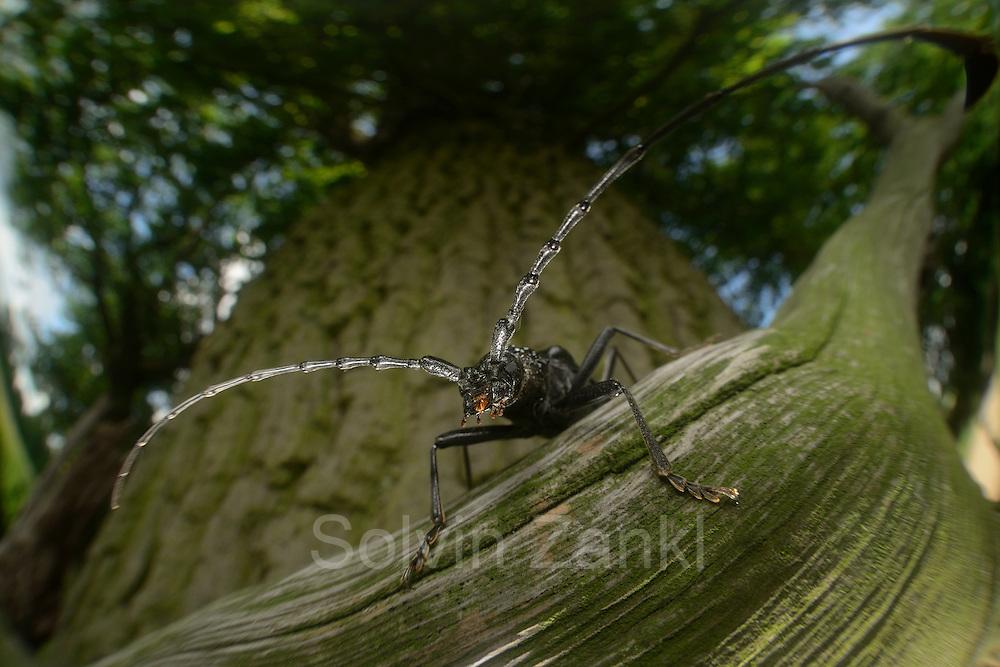 Great capricorn beetle (Cerambyx cerdo) on oak The Biosphere Reserve 'Niedersächsische Elbtalaue' (Lower Saxonian Elbe Valley), Germany | Großer Eichen-Bock (Cerambyx cerdo) auf einem abgestorbenen Ast einer Eiche. |