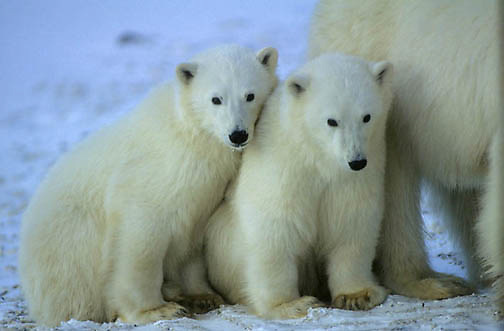 Polar Bear, (Ursus maritimus) Portrait of cubs. Churchill, Manitoba. Canada.