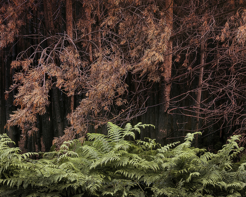 Bracken flourishing at the edges of the fire damaged forest at Thetford