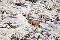 Winter snows bring new challenges to the Mule Deer that live in the mountain valleys in northern Utah this Image was taken in December 2016.