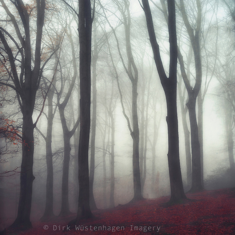 Misty beech tree forest<br />