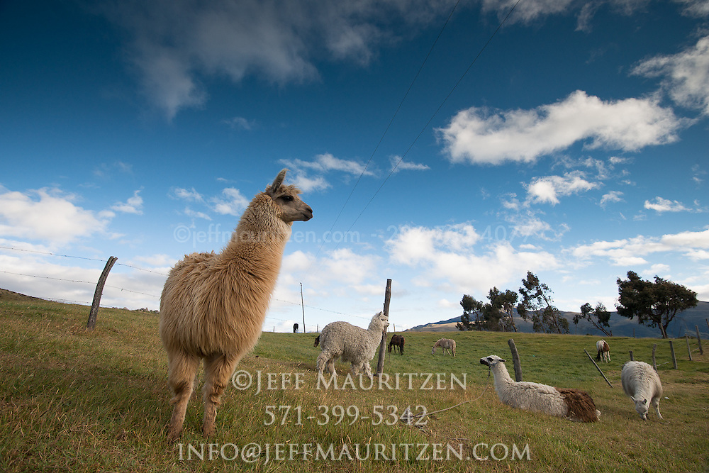 Llamas and alpacas graze at sunrise high up in the Andes of Ecuador.