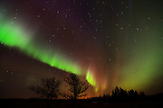 Northern lights (Aurora borealis) and bur oak trees<br /> Birds Hill Provincial Park<br /> Manitoba<br /> Canada