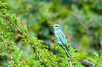 European Roller in Kruger National Park, the largest game reserve in South Africa.