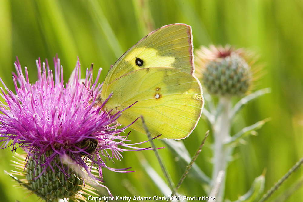 Southern dogface, Colias cesonia, below, feeding on thistle, Big Bend National Park, Texas.
