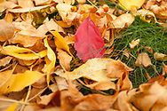An autumn carpet of Ash and Virginia Creeper leaves