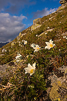Blooming of White Pasque flower (Pulsatilla alba) on slope in the Liptovske kopi. Western Tatras, Slovakia. June 2009. Mission: Ticha