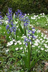 Roman hyacinth with anemone nemorosa