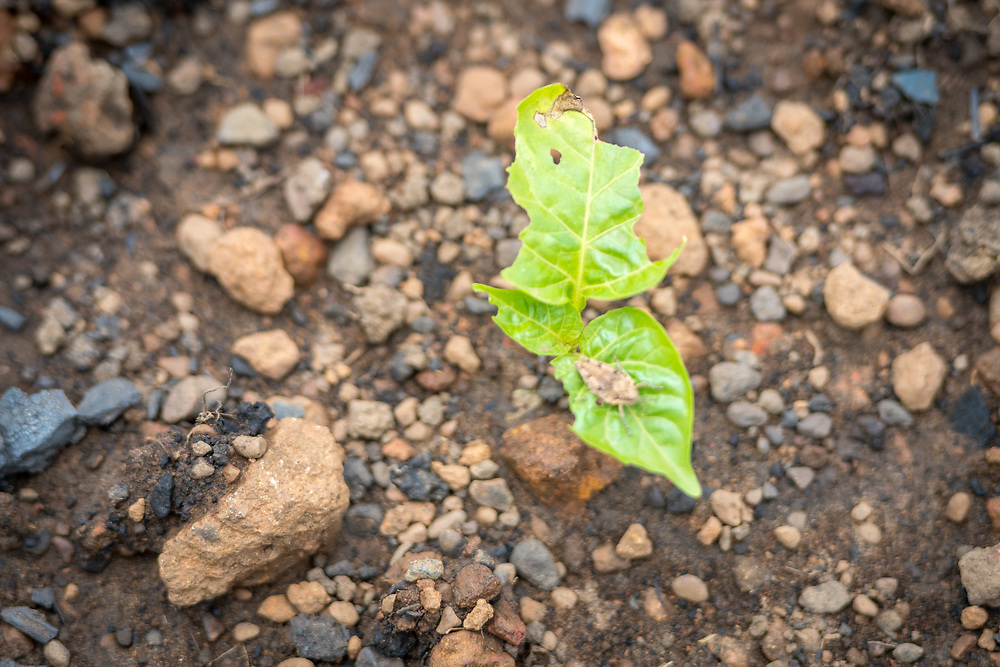 A small pepper plant in the early stages of growth in Ganta, Liberia