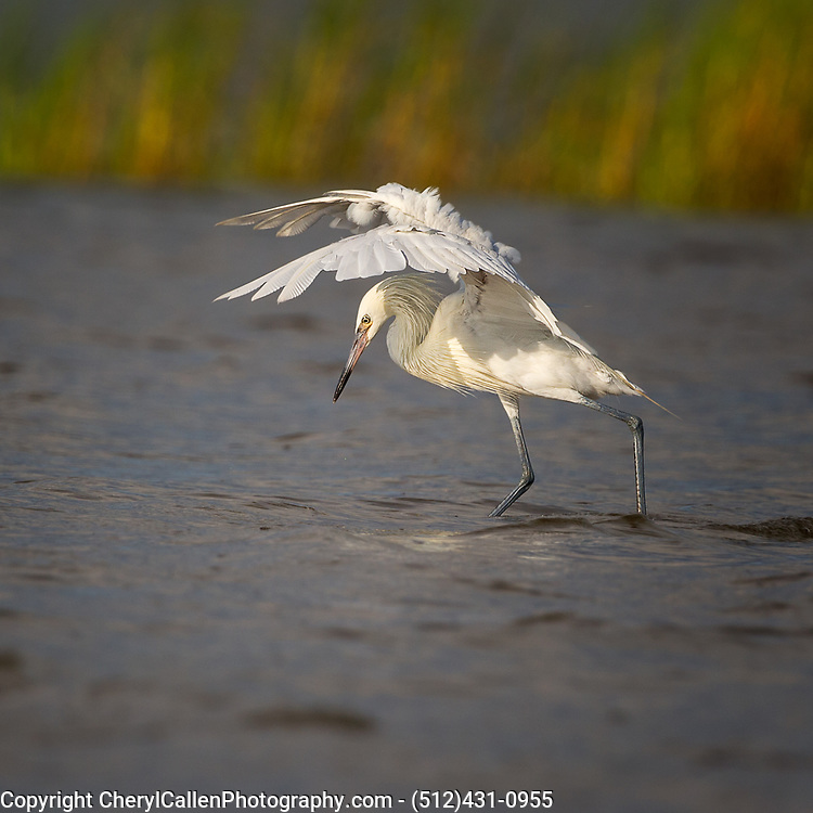 Reddish Egret-white morph skilled hunter