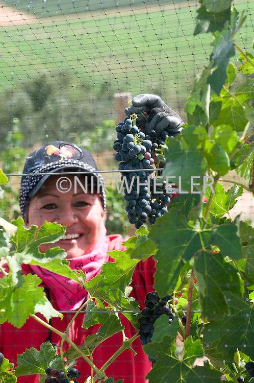 Female worker shows bunch of grapes during green tying Syrah; Cote Bonneville Winery; Debrul Vineyards; Sunnyside; Yakima Valley; Washington State, USA
