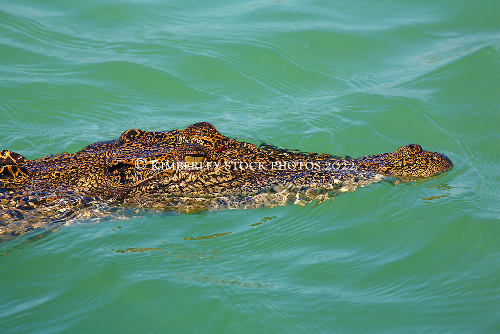 A small red leaf on a saltwater crocodiles' head near Turtle Reef in Talbot Bay.