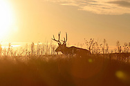 Mule deer buck silhouetted against the setting sun.