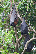 Flying-foxes are large bats, weighing up to 1 kg, with a wing span which may exceed one metre. They sleep during the day and feed on pollen, nectar and fruit at night. They are also known as fruit bats.  Grey-headed Flying-foxes (Pteropus poliocephalus), which are listed as vulnerable under both NSW and Commonwealth legislation. ..The flying-foxes have made the Royal Botanic Gardens in Sydney a 'permanent' camp (a site where flying-foxes regularly roost), which is occupied all year round.