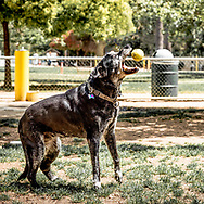 Old dog catching a ball at the dog park.