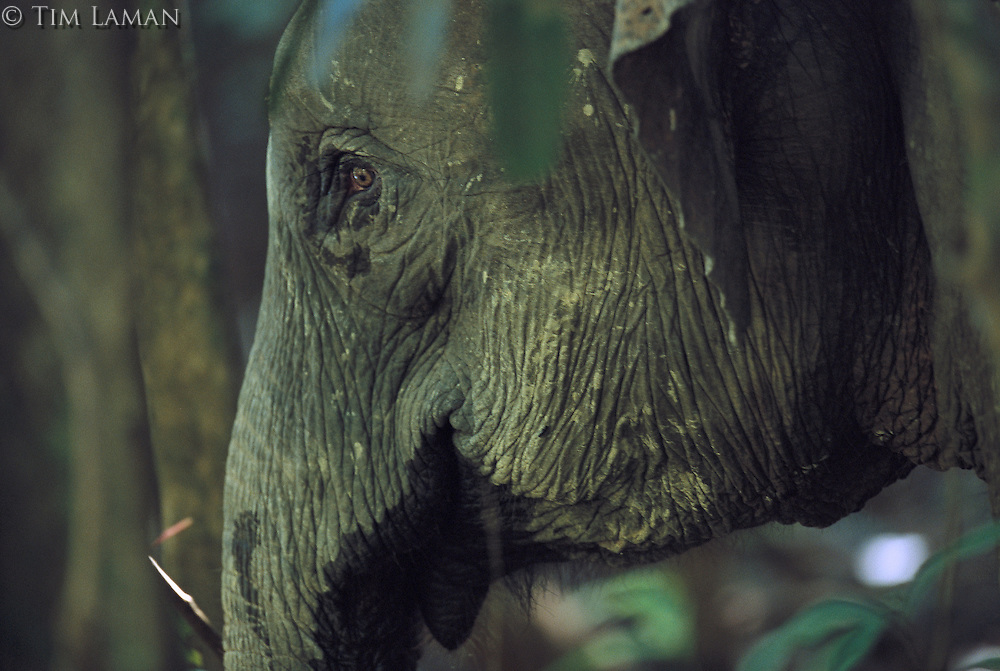 A close view of Bornean Pygmy Elephant in the forest.