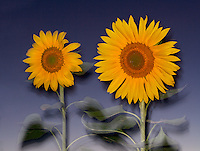 Playing around with a different style, I photographed these sunflowers at dusk.  Deep yellow flowers against the muted blue sky make for an odd image.